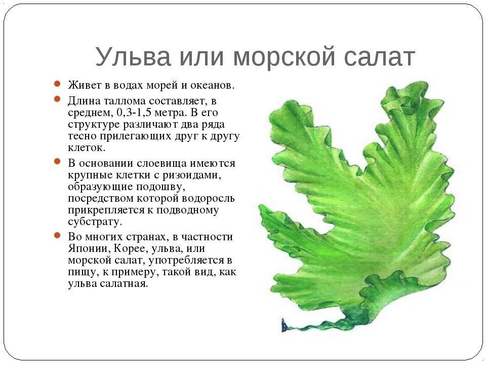 Ульва или морской салат Живет в водах морей и океанов. Длина таллома составля...