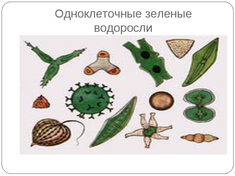 Одноклеточные зеленые водоросли