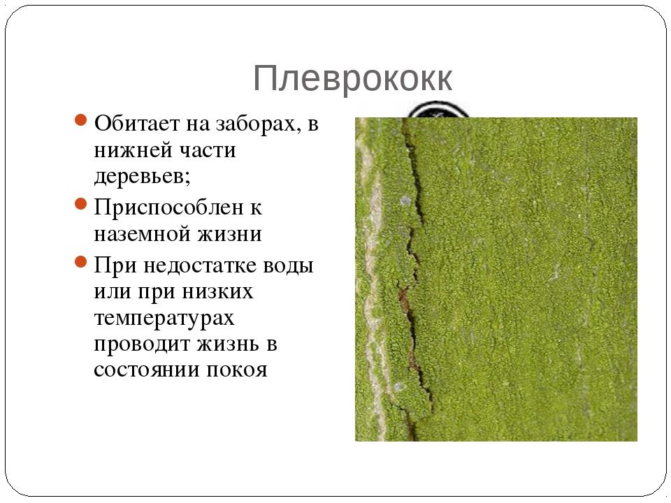 Плеврококк Обитает на заборах, в нижней части деревьев; Приспособлен к наземн...