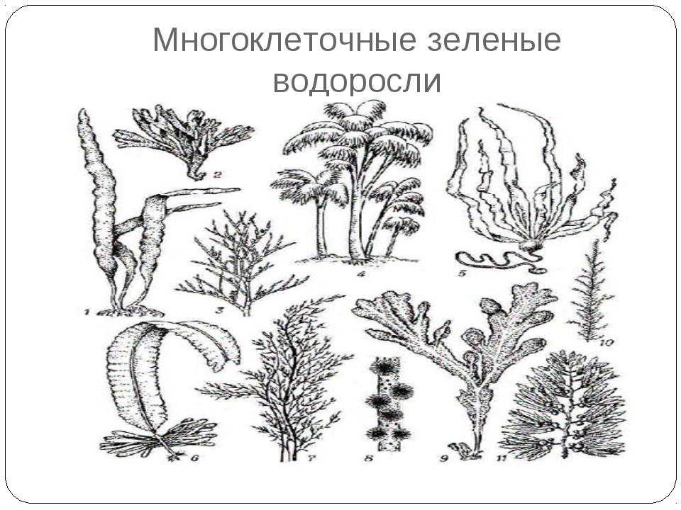 Многоклеточные зеленые водоросли