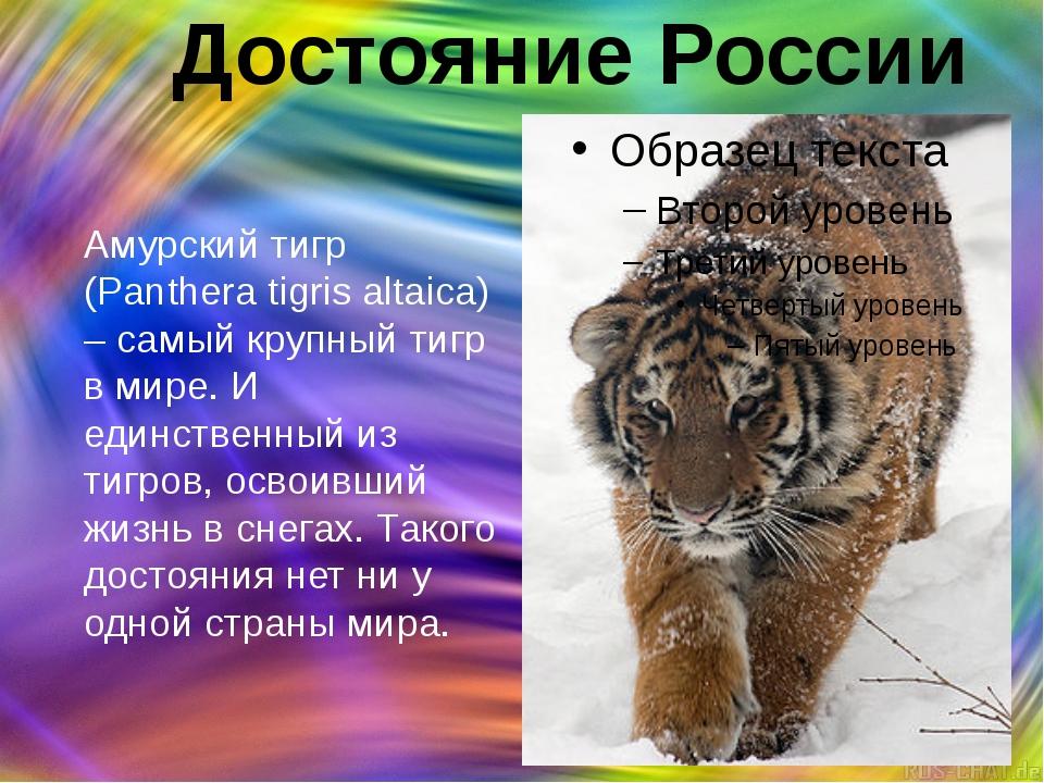 Достояние России Амурский тигр (Panthera tigris altaica) – самый крупный тигр...