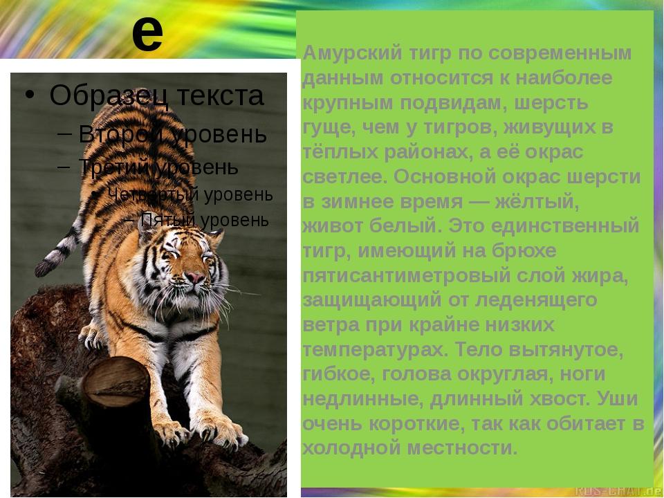 Описание Амурский тигр по современным данным относится к наиболее крупным под...