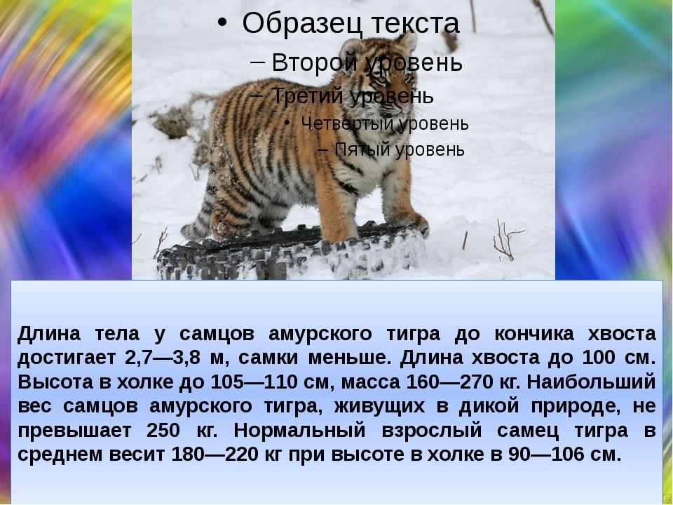 Длина тела у самцов амурского тигра до кончика хвоста достигает 2,7—3,8 м, с...