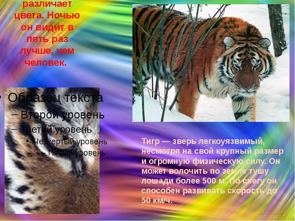 Амурский тигр различает цвета. Ночью он видит в пять раз лучше, чем человек....