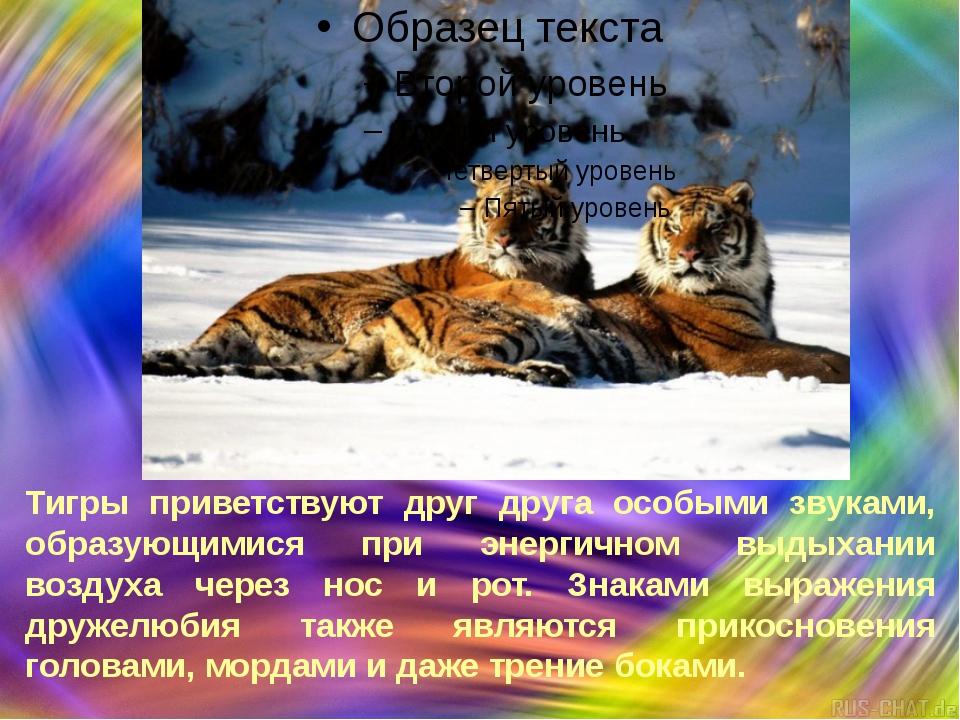 Тигры приветствуют друг друга особыми звуками, образующимися при энергичном...