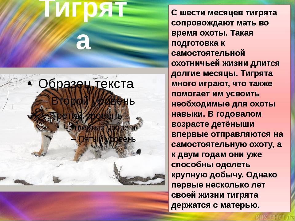 Тигрята С шести месяцев тигрята сопровождают мать во время охоты. Такая подго...