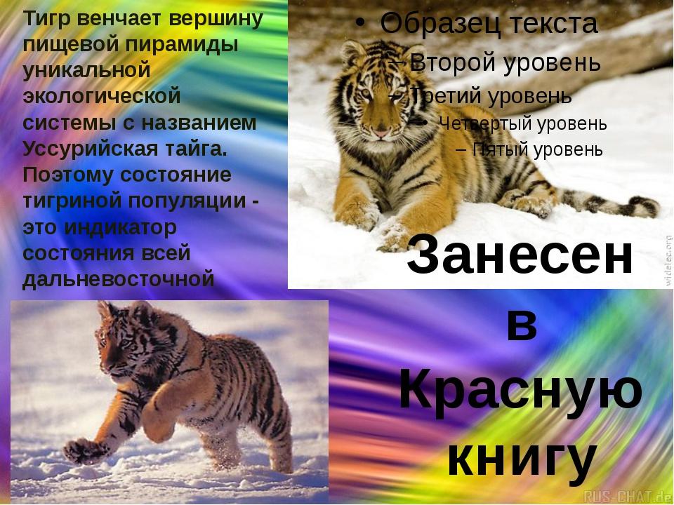 Тигр венчает вершину пищевой пирамиды уникальной экологической системы с назв...
