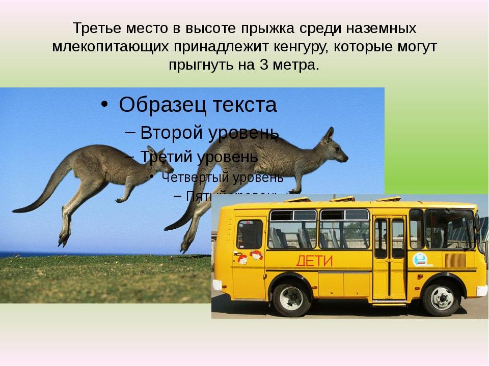 Третье место в высоте прыжка среди наземных млекопитающих принадлежит кенгуру...
