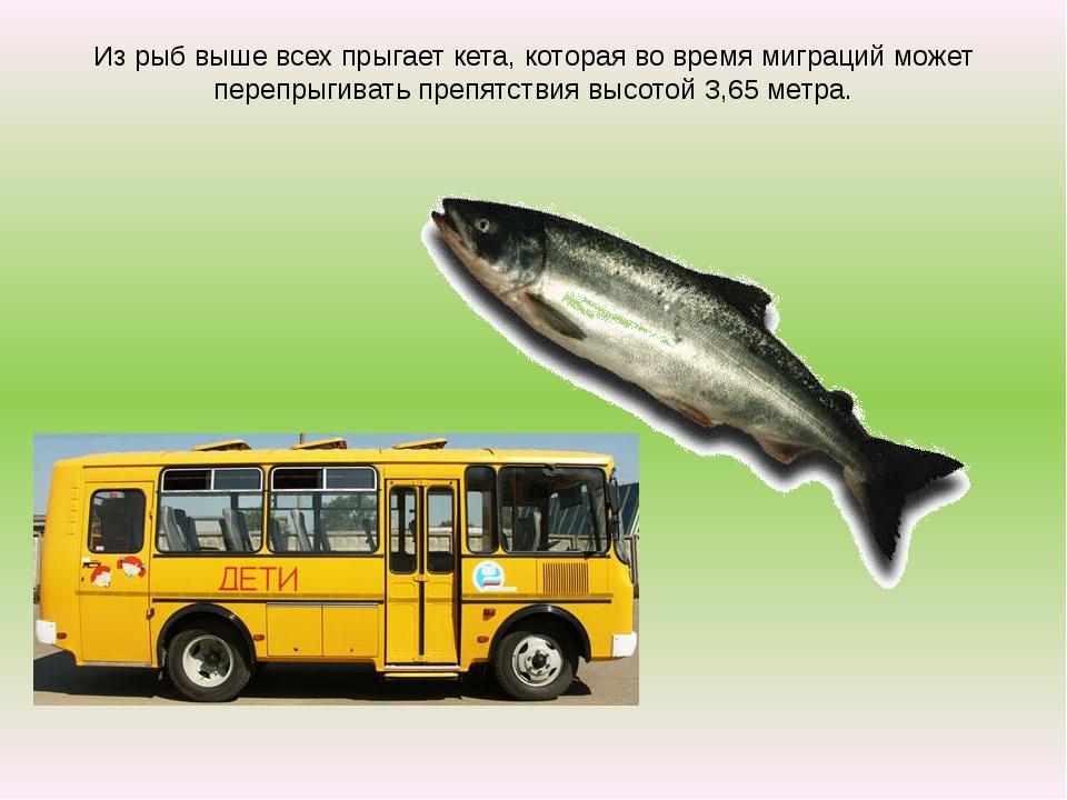 Из рыб выше всех прыгает кета, которая во время миграций может перепрыгивать...