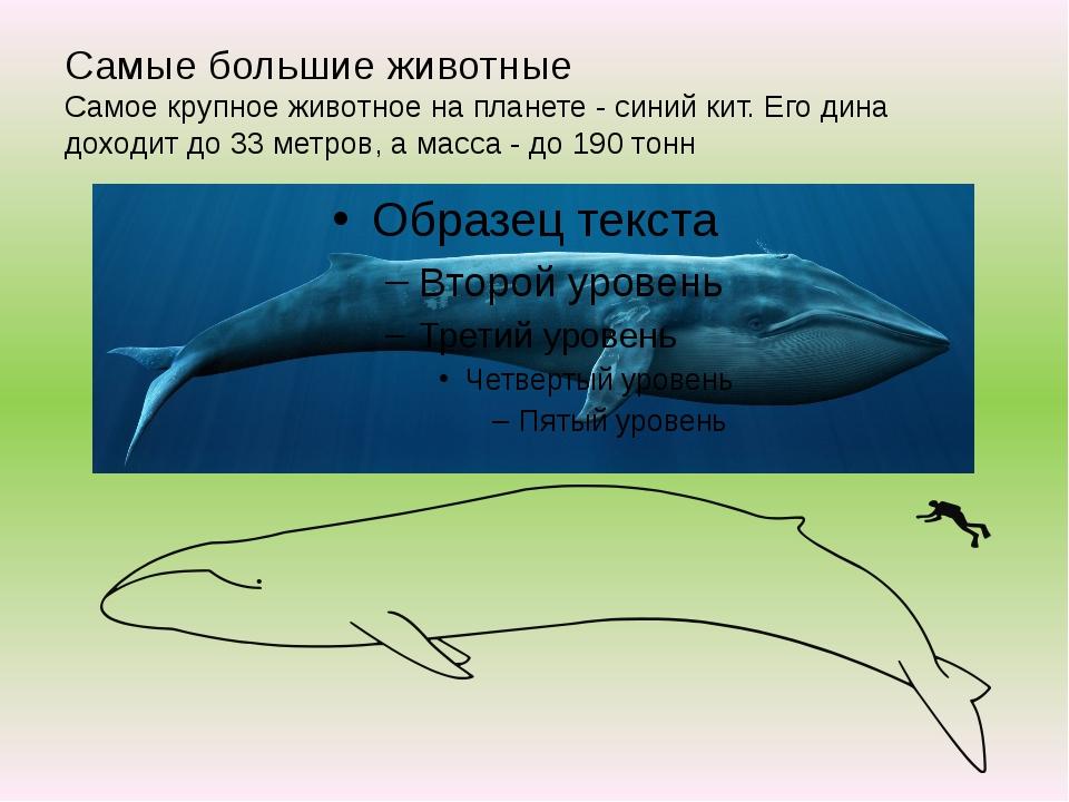 Самые большие животные Самое крупное животное на планете - синий кит. Его дин...
