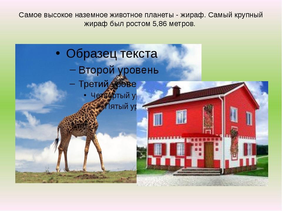 Самое высокое наземное животное планеты - жираф. Самый крупный жираф был рост...
