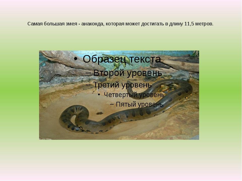 Самая большая змея - анаконда, которая может достигать в длину 11,5 метров.