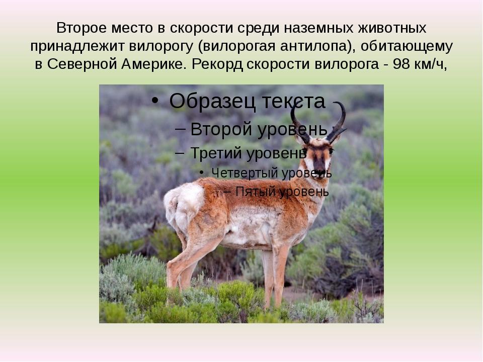 Второе место в скорости среди наземных животных принадлежит вилорогу (вилорог...