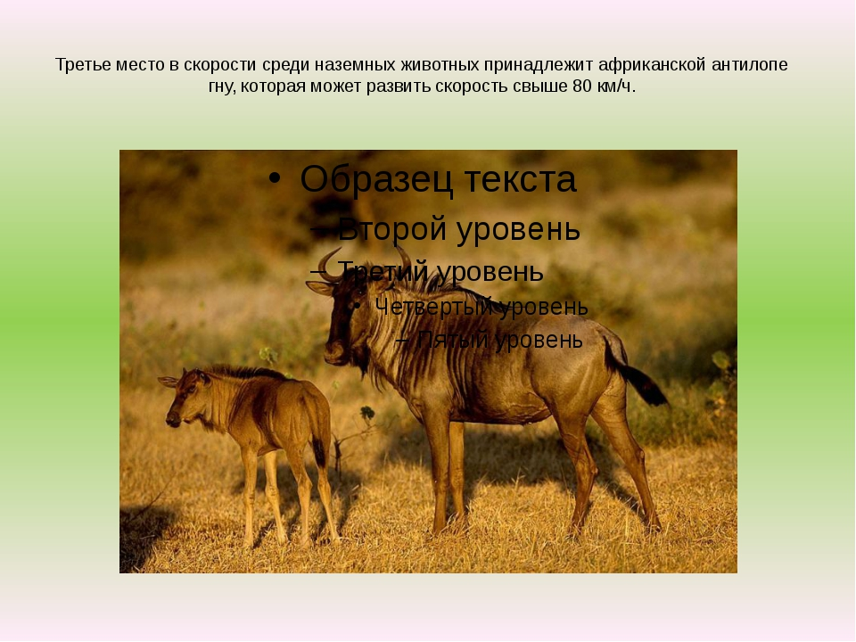 Третье место в скорости среди наземных животных принадлежит африканской антил...