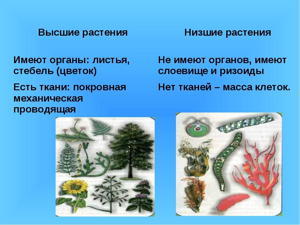 Высшие растенияНизшие растения Имеют органы: листья, стебель (цветок)Не име...