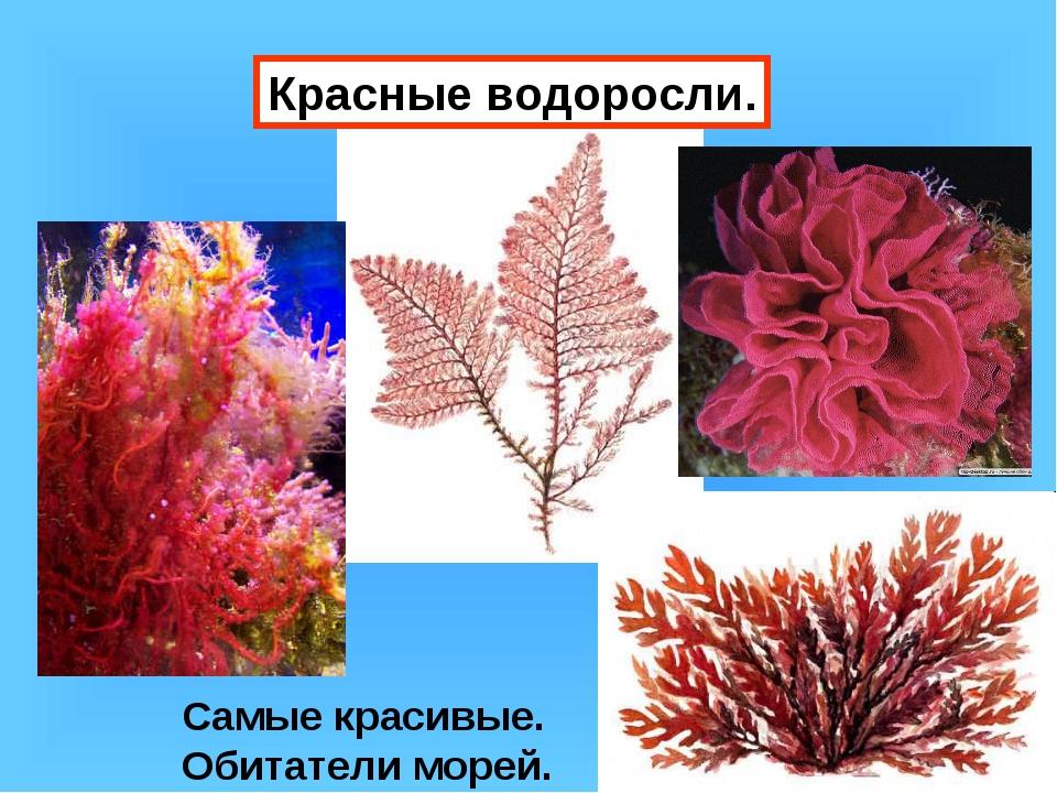 Красные водоросли. Самые красивые. Обитатели морей.