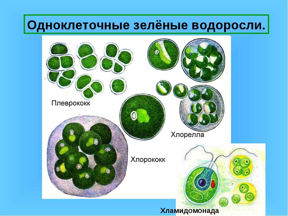 Одноклеточные зелёные водоросли. Хламидомонада