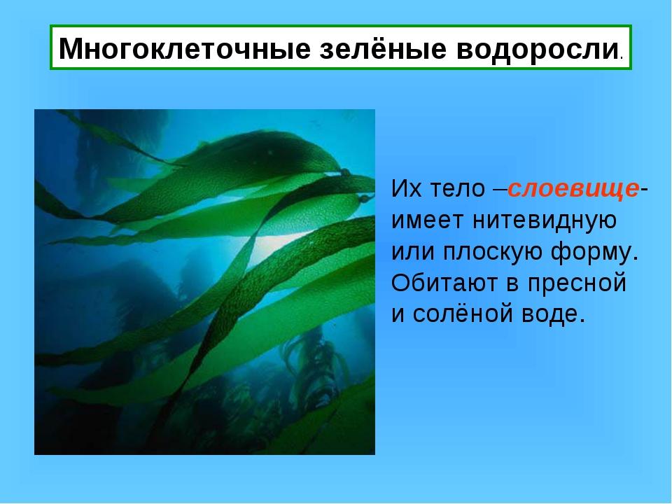 Многоклеточные зелёные водоросли. Их тело –слоевище- имеет нитевидную или пло...