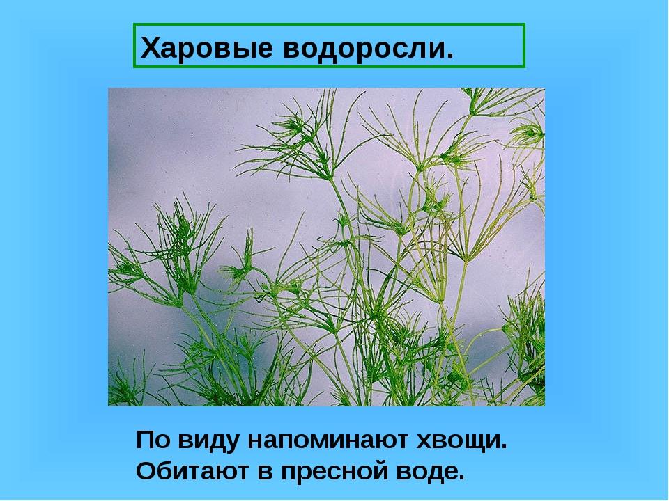 Харовые водоросли. По виду напоминают хвощи. Обитают в пресной воде.