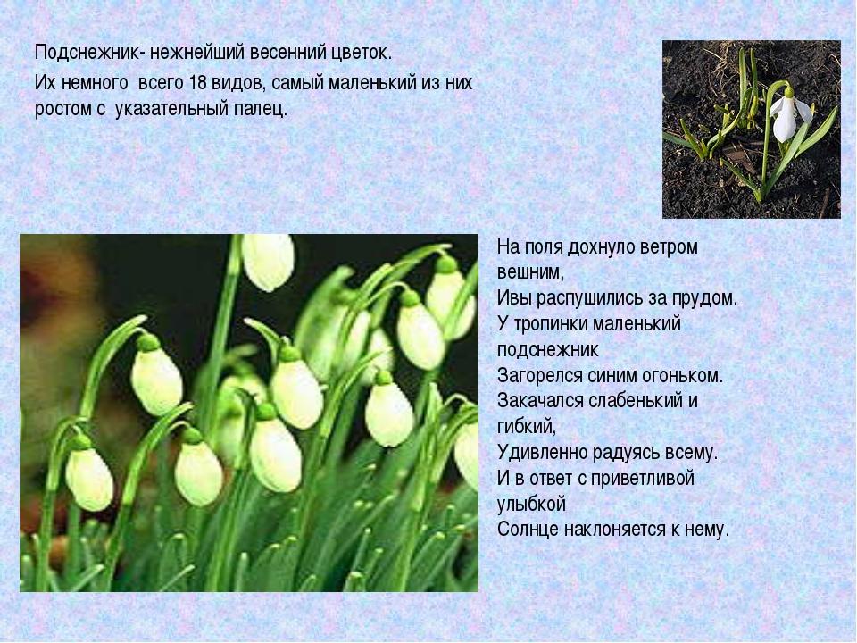 Подснежник- нежнейший весенний цветок. Их немного всего 18 видов, самый мален...