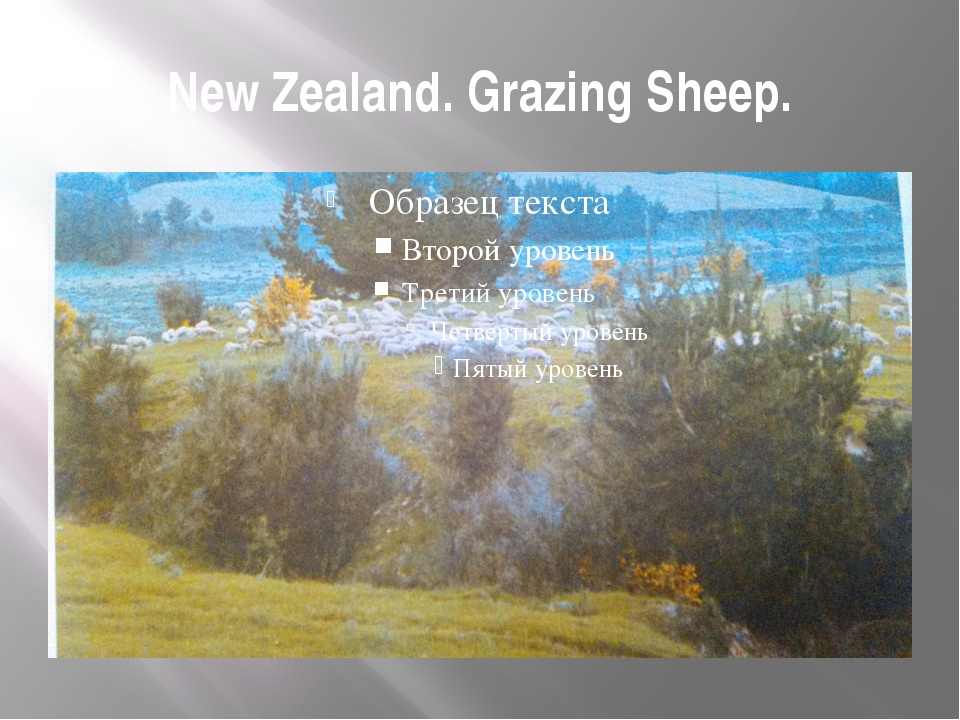 New Zealand. Grazing Sheep.