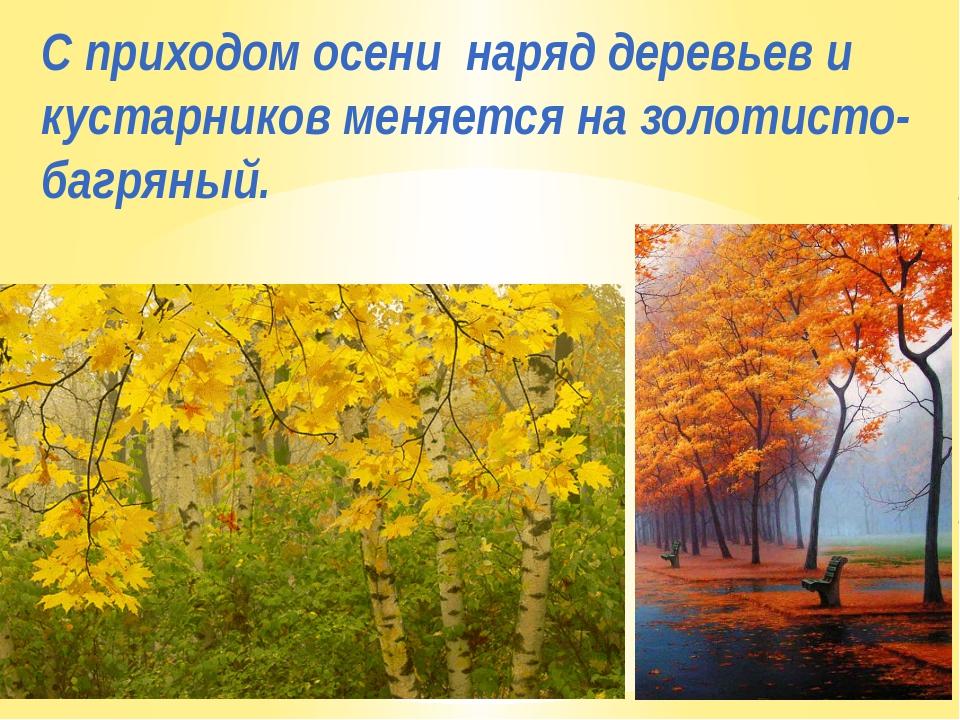 С приходом осени наряд деревьев и кустарников меняется на золотисто-багряный.