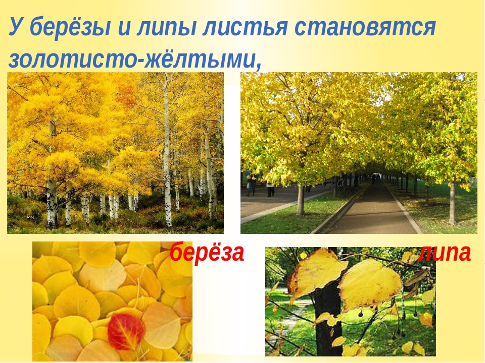 У берёзы и липы листья становятся золотисто-жёлтыми, берёза липа