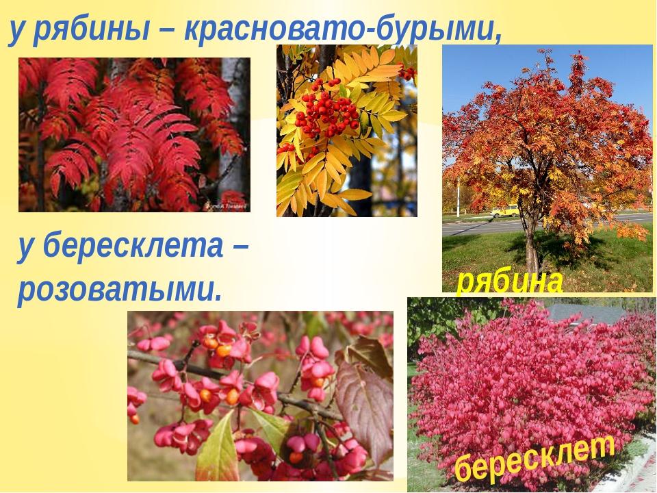 у рябины – красновато-бурыми, у бересклета – розоватыми. рябина бересклет