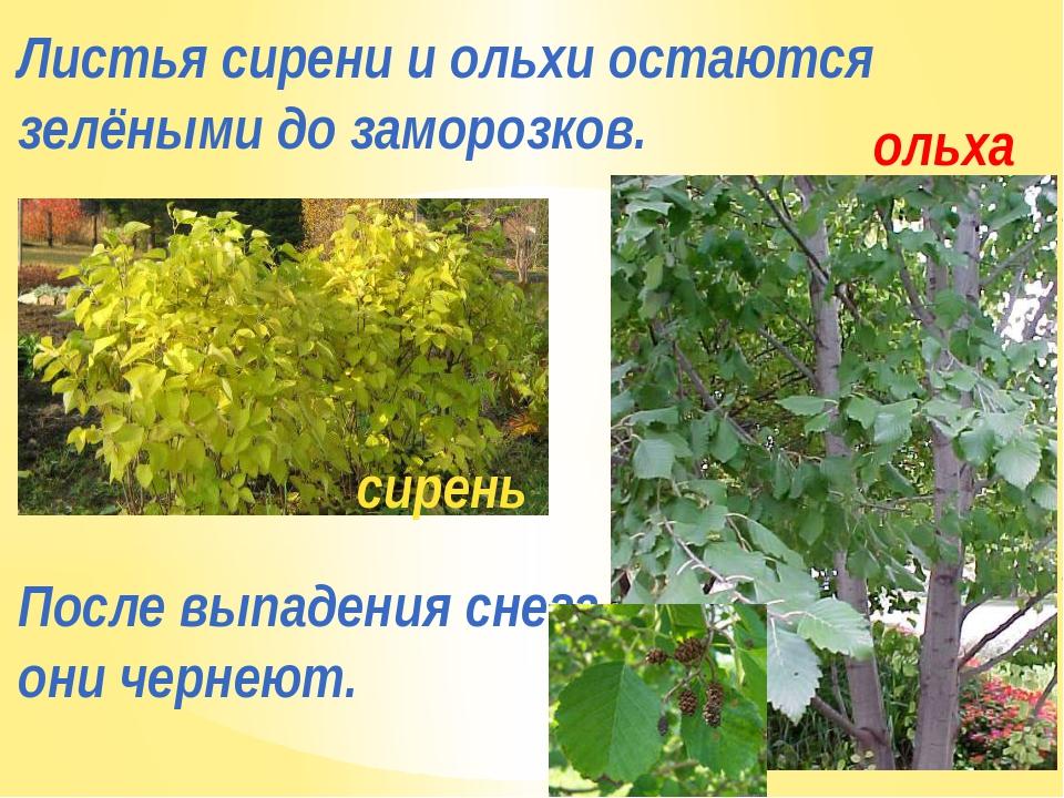 Листья сирени и ольхи остаются зелёными до заморозков. После выпадения снега...