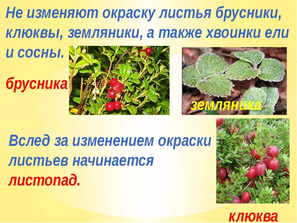 Не изменяют окраску листья брусники, клюквы, земляники, а также хвоинки ели и...