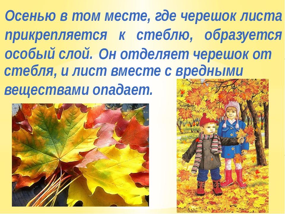 Осенью в том месте, где черешок листа прикрепляется к стеблю, образуется особ...