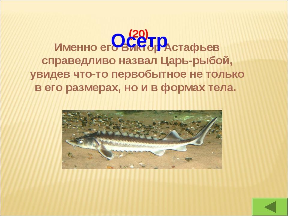 (20) Именно его Виктор Астафьев справедливо назвал Царь-рыбой, увидев что-то...