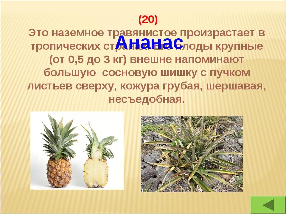 (20) Это наземное травянистое произрастает в тропических странах. Его плоды...