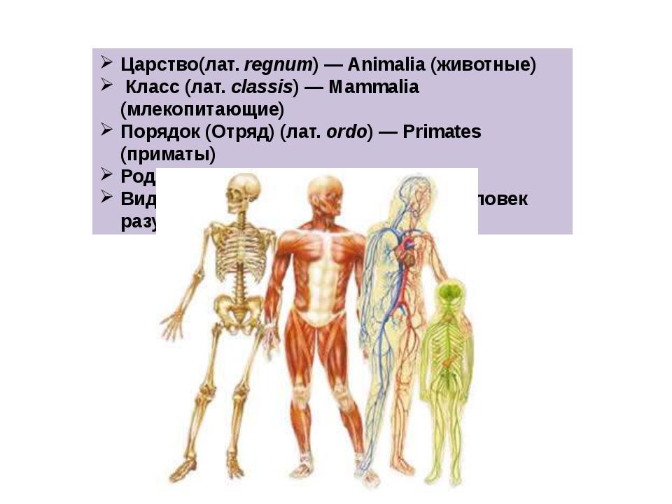 Царство(лат.regnum)— Animalia (животные) Класс (лат.classis)— Mammalia (м...