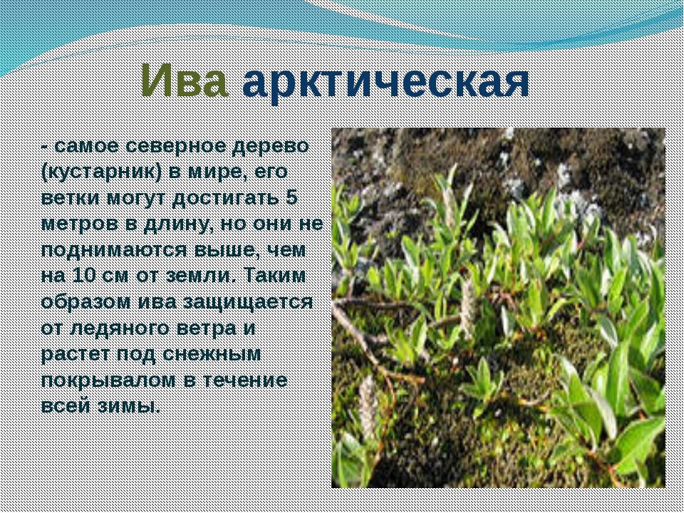 деревья и кустарники краснодарского края фото и описание ней представлен нагой