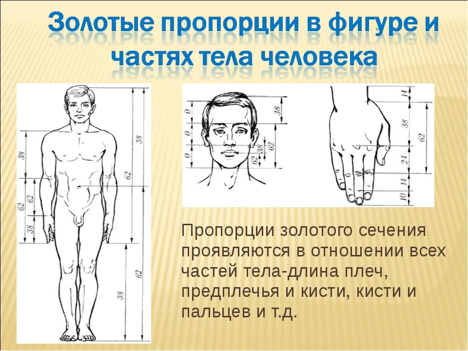 Пропорции золотого сечения проявляются в отношении всех частей тела-длина пле...
