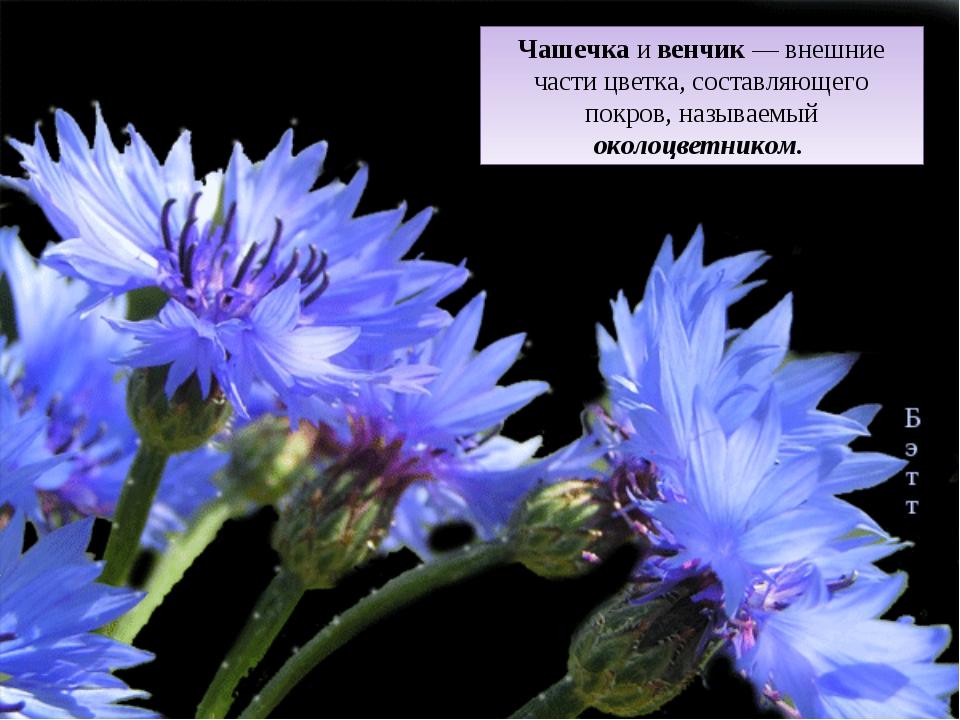Чашечка и венчик — внешние части цветка, составляющего покров, называемый око...