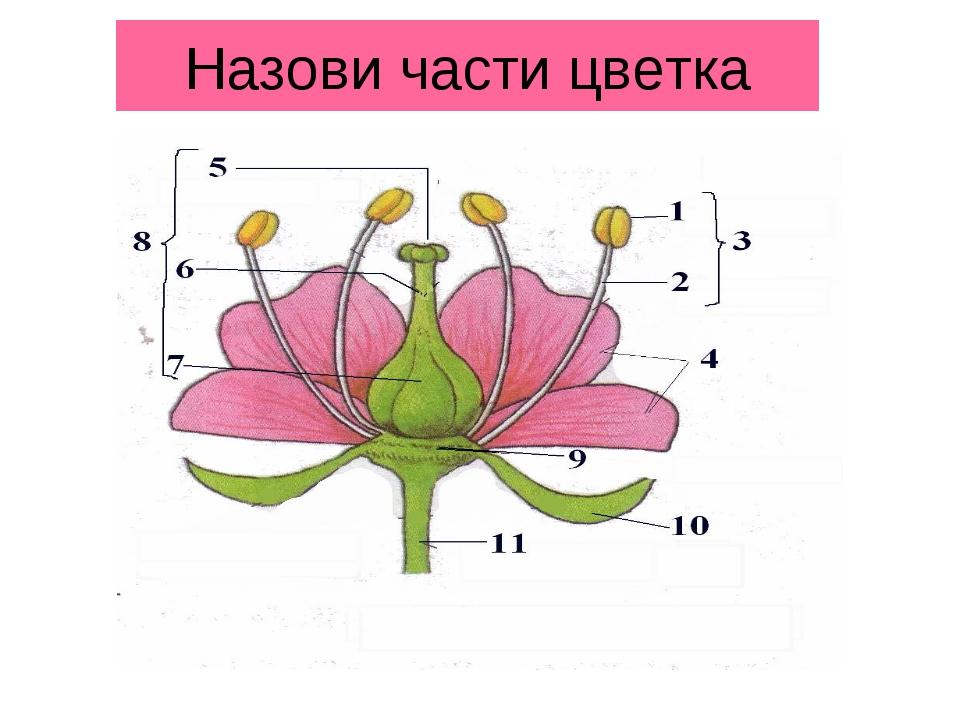 Назови части цветка