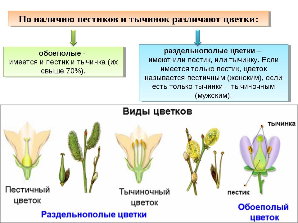 По наличию пестиков и тычинок различают цветки: обоеполые- имеется и пестик...