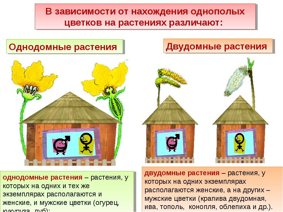 однодомные растения – растения, у которых на одних и тех же экземплярах распо...