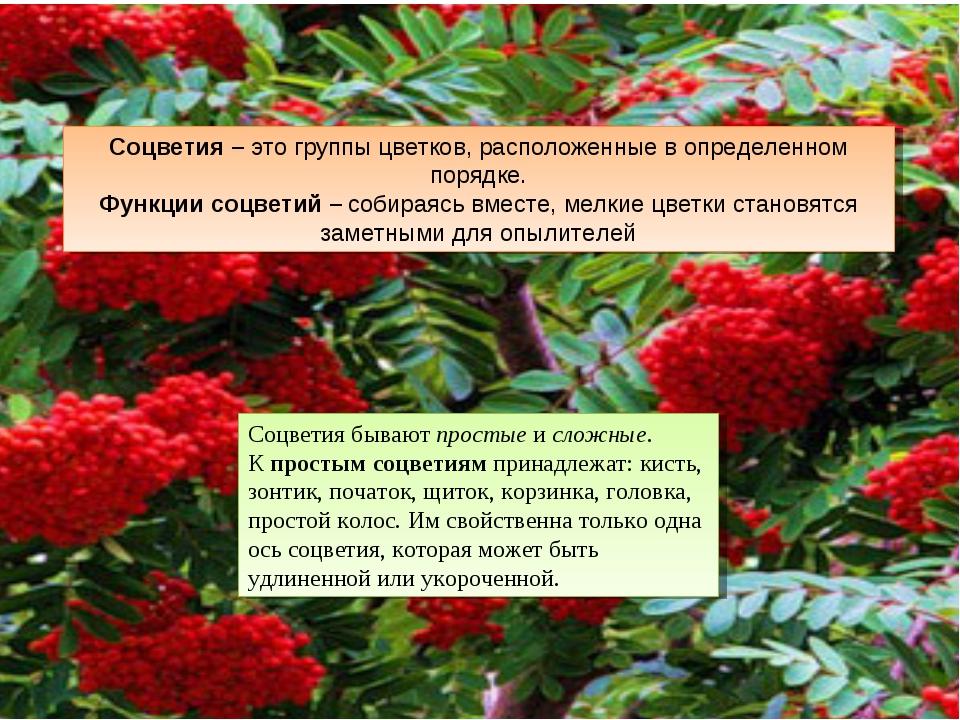Соцветия бывают простые и сложные. К простым соцветиям принадлежат: кисть, зо...