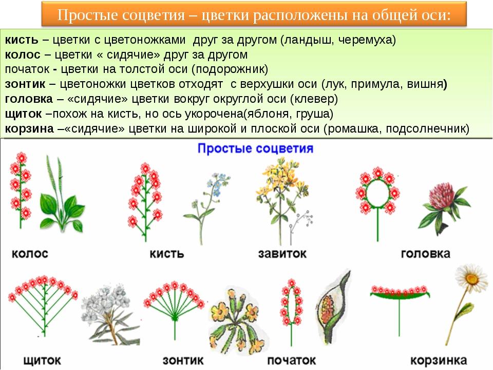 кисть – цветки с цветоножками друг за другом (ландыш, черемуха) колос – цвет...