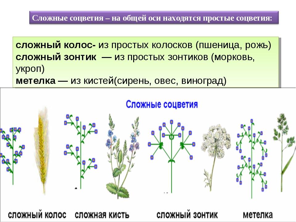 сложный колос- из простых колосков (пшеница, рожь) сложный зонтик — из прост...
