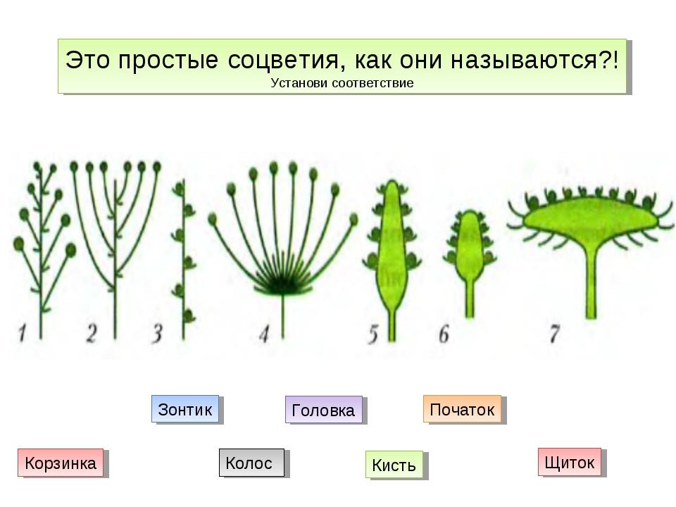 Это простые соцветия, как они называются?! Установи соответствие Щиток Кисть...