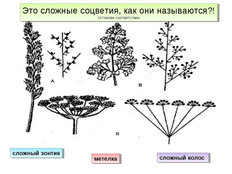 сложный колос сложный зонтик метелка Это сложные соцветия, как они называются...