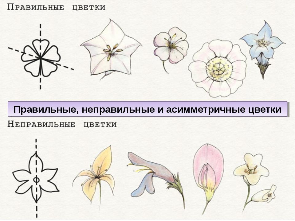 Правильные, неправильные и асимметричные цветки