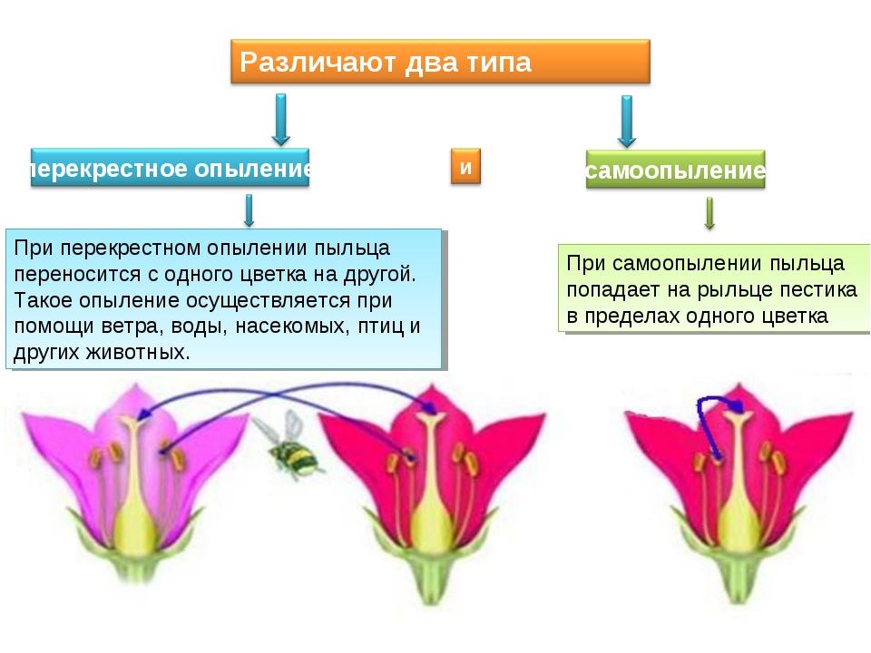 При самоопылении пыльца попадает на рыльце пестика в пределах одного цветка П...