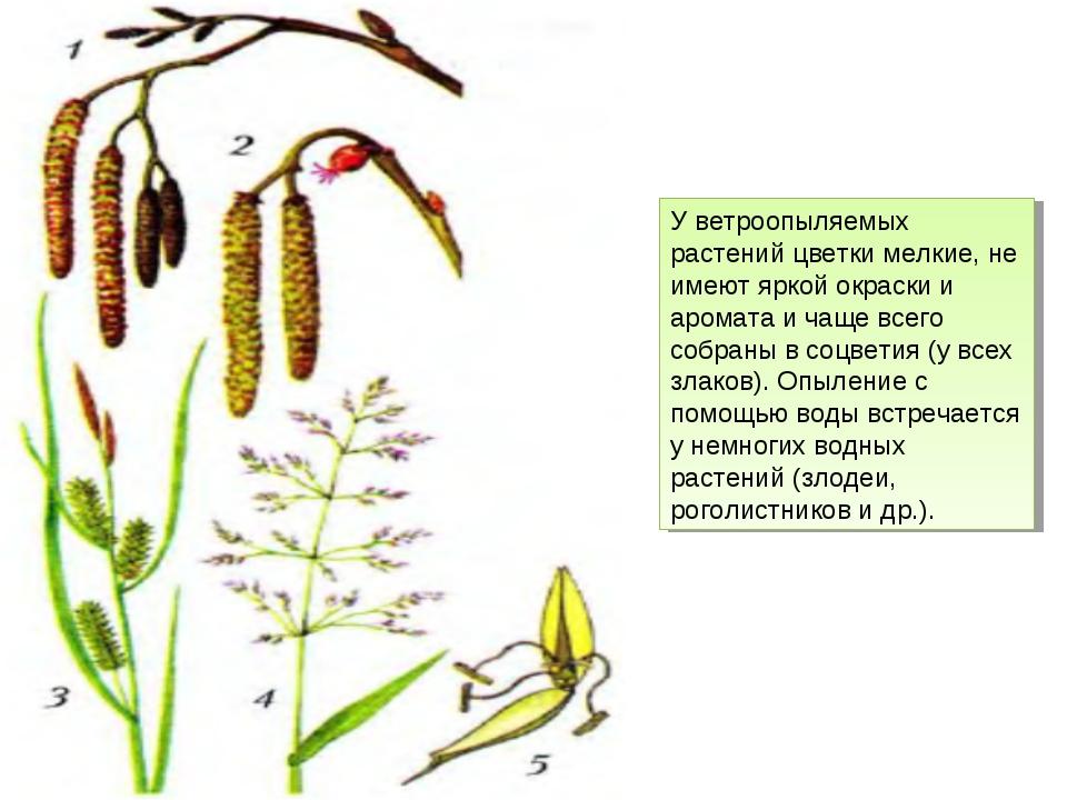 У ветроопыляемых растений цветки мелкие, не имеют яркой окраски и аромата и ч...