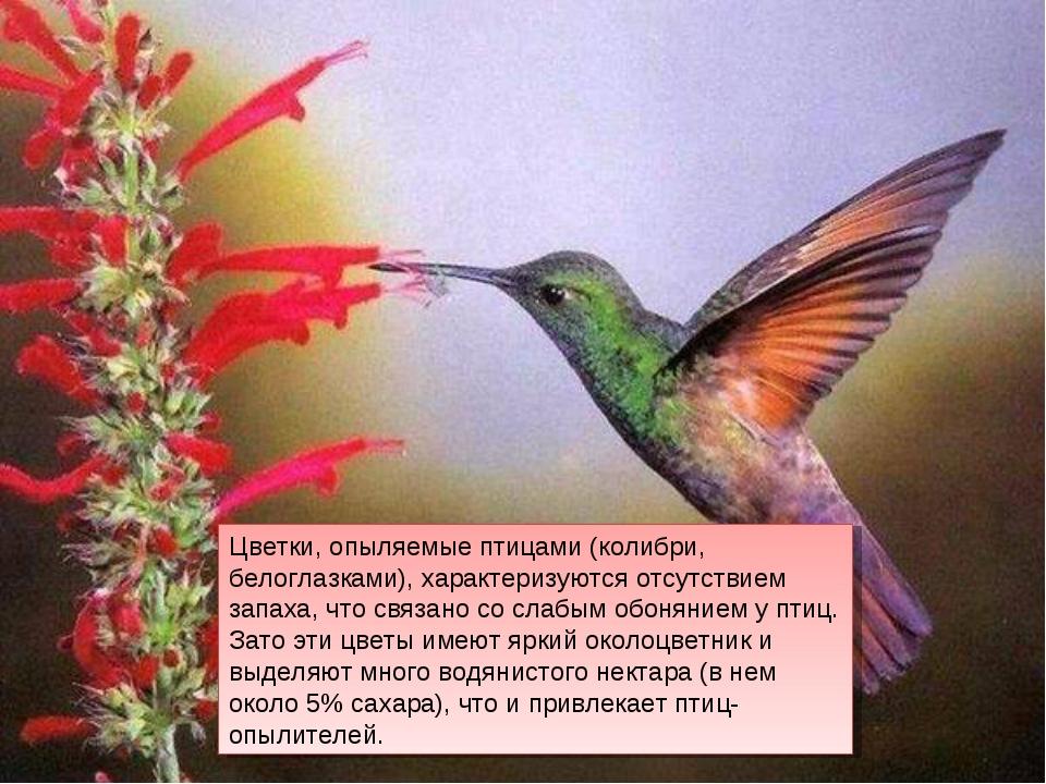 Цветки, опыляемые птицами (колибри, белоглазками), характеризуются отсутствие...