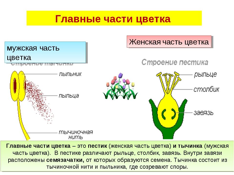 Главные части цветка мужская часть цветка Женская часть цветка Главные части...